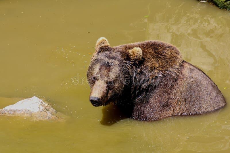 Urso marrom europeu, arctos dos arctos do Ursus, urso marrom euro-asiático que banha-se imagem de stock royalty free