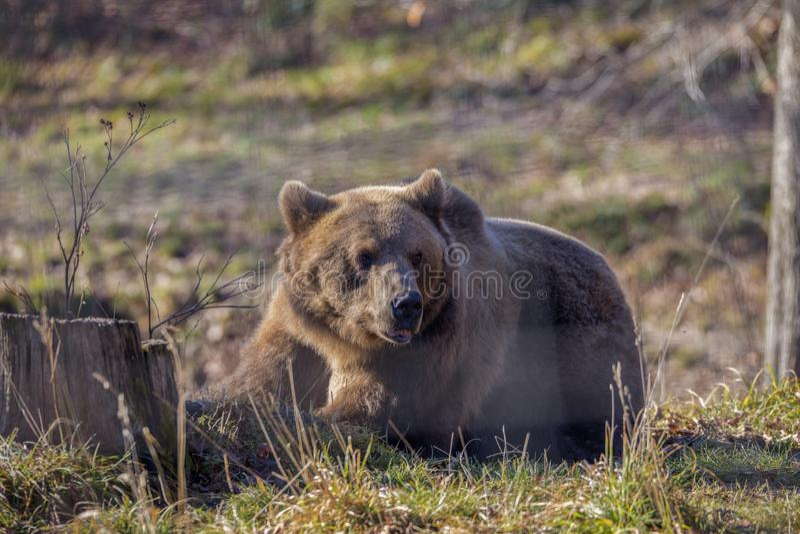 Urso marrom europeu que descansa na terra imagens de stock