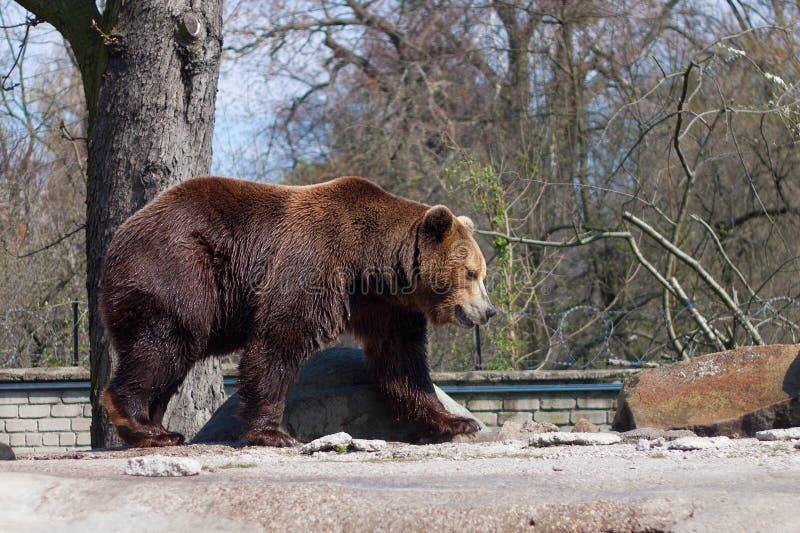 Urso marrom grande em um jardim zoológico em uma rocha artificial fotografia de stock