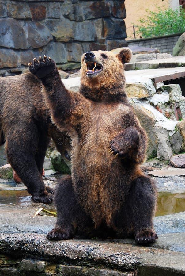 Urso marrom grande irritado com boca aberta que pede o alimento fotos de stock