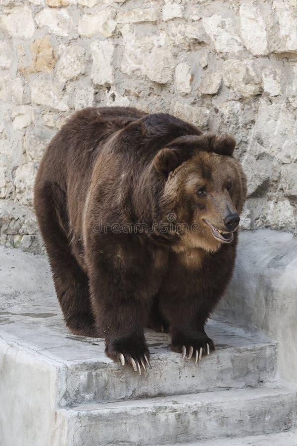 Urso marrom grande no jardim zoológico imagens de stock royalty free