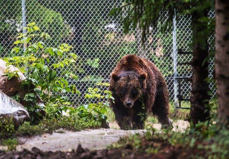 Urso marrom grande prendido em um jardim zoológico imagens de stock royalty free