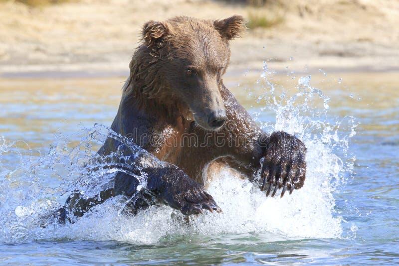 Urso marrom grande que salta para peixes imagem de stock royalty free