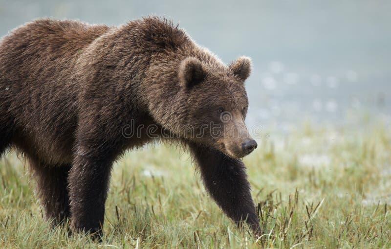 Urso marrom litoral fotografia de stock royalty free