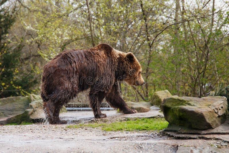 Urso marrom molhado grande imagens de stock