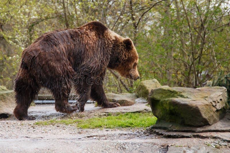 Urso marrom molhado grande fotos de stock