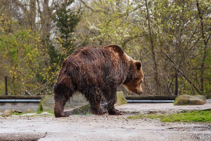 Urso marrom molhado grande em um jardim zoológico foto de stock