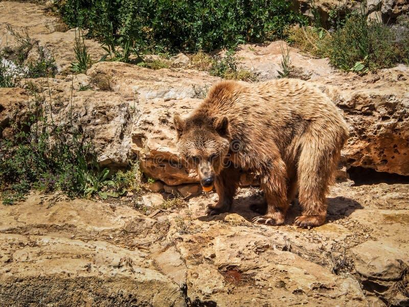 Urso marrom sírio, jardim zoológico bíblico do Jerusalém em Israel fotografia de stock