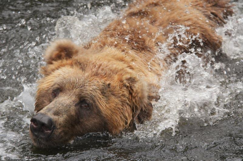 Urso na água imagem de stock royalty free