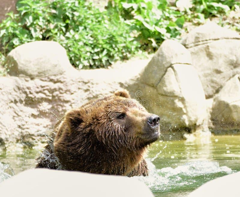 Urso na água no jardim zoológico Brno fotografia de stock royalty free
