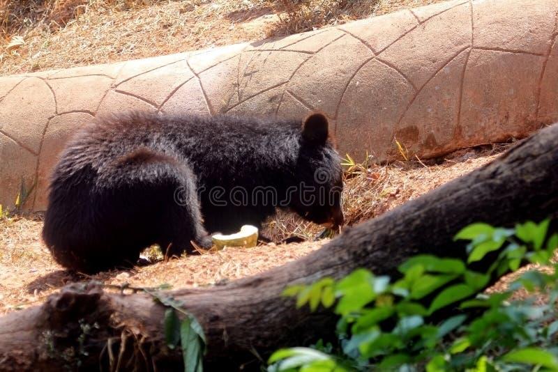 Urso Negro Asiático fotos de stock royalty free