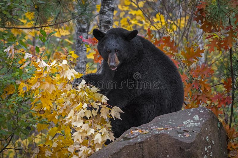 Urso Negro Ursus americanus senta-se no Rock com Folhas no outono imagem de stock royalty free