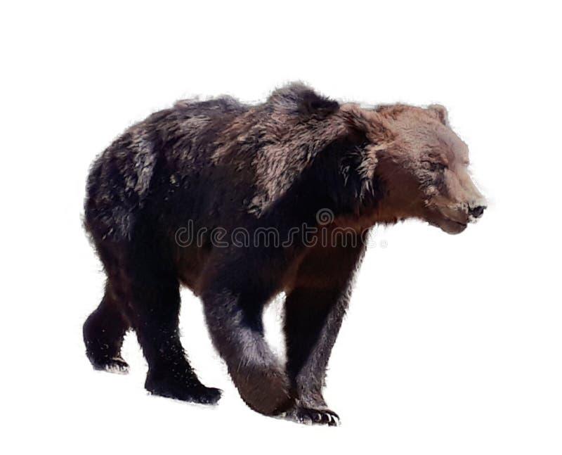 Urso no fundo branco imagem de stock royalty free