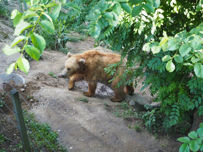 Urso no parque do urso em Bern Switzerland imagens de stock