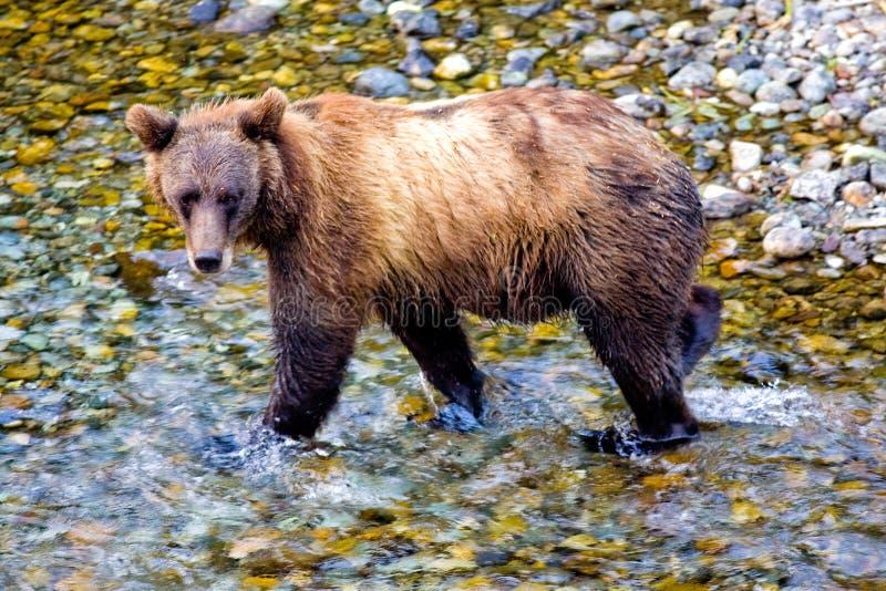 Urso ou um urso de Brown - angra dos peixes, Alaska imagem de stock