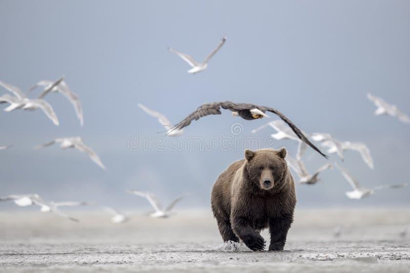 Urso pardo, gaivota de mar e águia americana imagens de stock