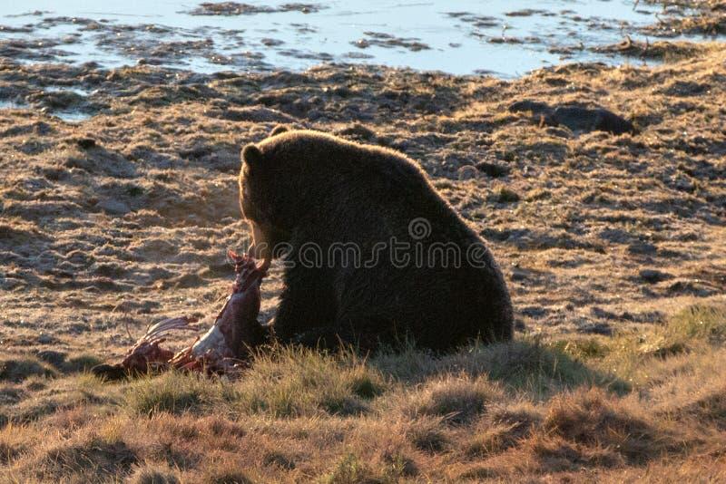 Urso pardo iluminado traseiro que alimenta na carcaça da vitela dos alces por Yellowstone River em Hayden Valley em Yellowstone N imagem de stock