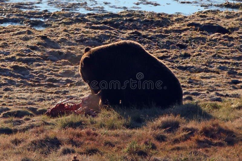 Urso pardo iluminado traseiro que alimenta na carcaça da vitela dos alces por Yellowstone River em Hayden Valley em Yellowstone N imagens de stock