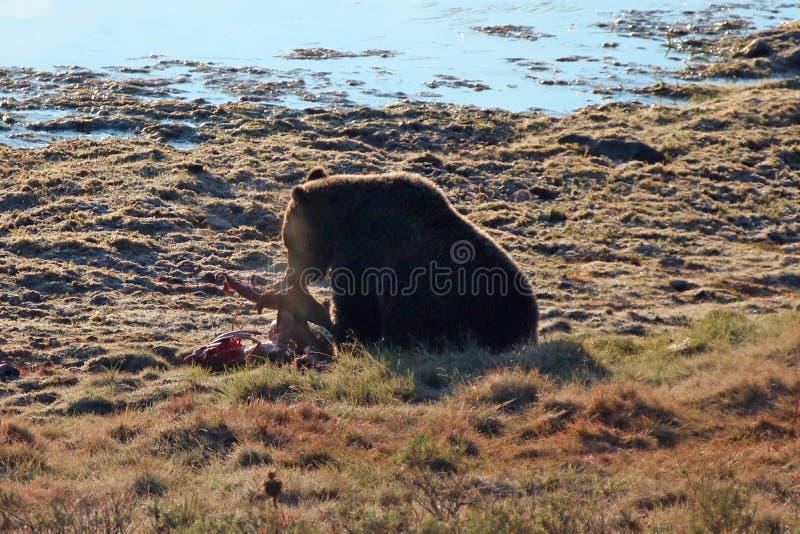 Urso pardo iluminado traseiro que alimenta na carca?a da vitela dos alces por Yellowstone River em Hayden Valley em Yellowstone N imagens de stock royalty free