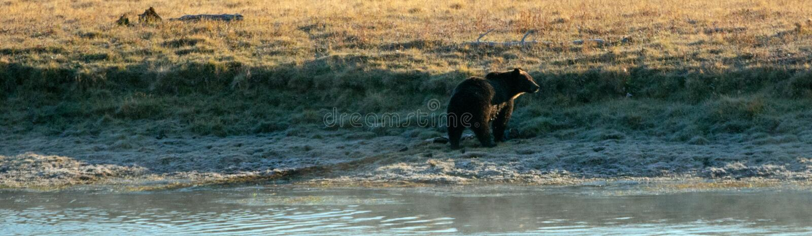Urso pardo masculino nos bancos do Yellowstone River no vale de Hayden no parque nacional de Yellowstone em Wyoming EUA foto de stock royalty free