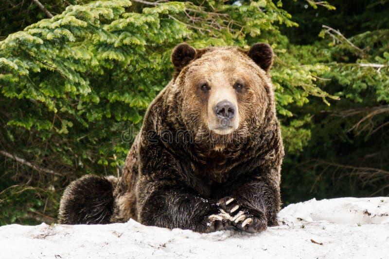 Urso pardo norte-americano na neve em Canadá ocidental imagens de stock royalty free