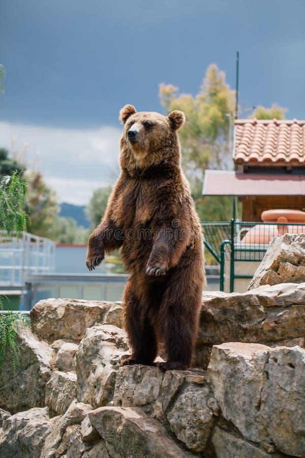 Urso pardo nos animais selvagens do jardim zoológico no safari Itália do apulia de Fasano imagem de stock royalty free