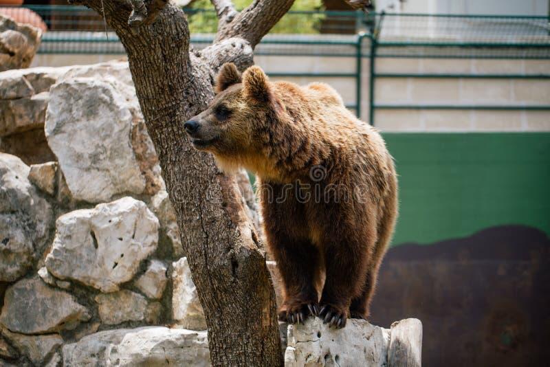 Urso pardo nos animais selvagens do jardim zoológico no safari Itália do apulia de Fasano imagens de stock royalty free