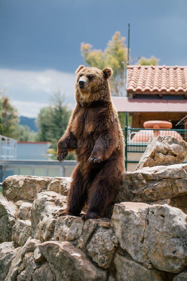 Urso pardo nos animais selvagens do jardim zoológico no safari Itália do apulia de Fasano fotos de stock royalty free