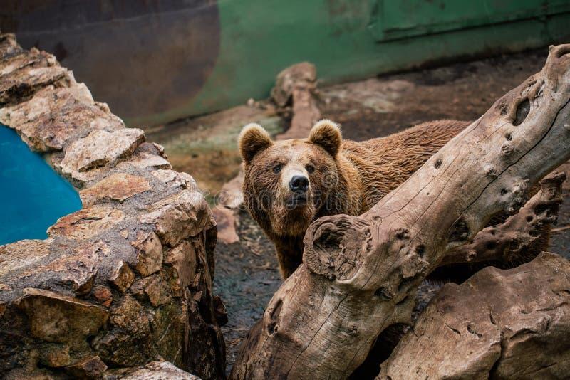 Urso pardo nos animais selvagens do jardim zoológico no safari Itália do apulia de Fasano foto de stock