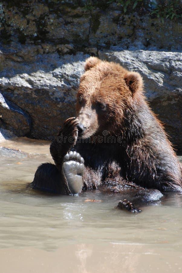 Urso pardo que lambe seu Paw While Seated em Muddy River fotografia de stock royalty free