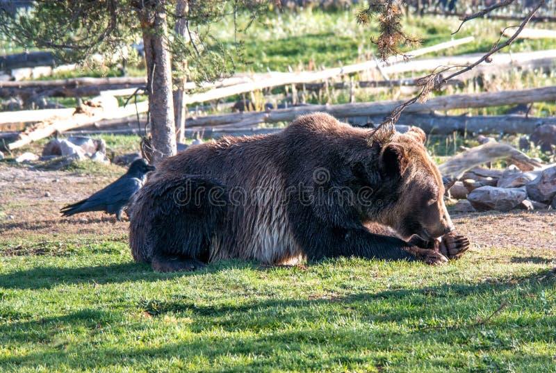 Urso pardo que lambe suas patas imagem de stock royalty free