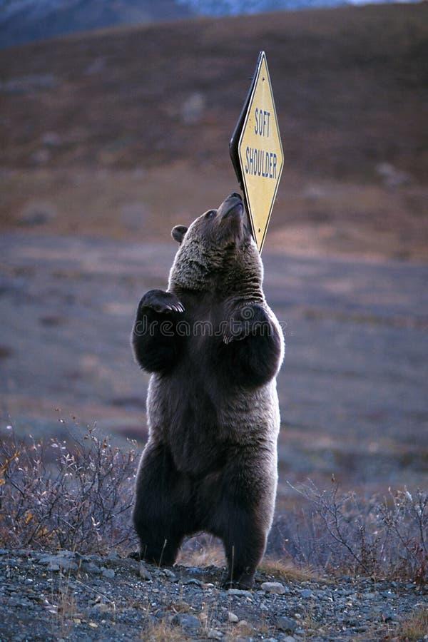 """Urso pardo que risca sua parte traseira em um sinal do  de Shoulder†do """"Soft ( imagem de stock royalty free"""