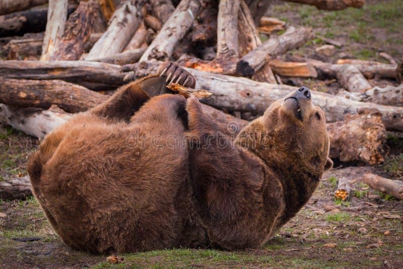 Urso pardo que rola na terra fotos de stock