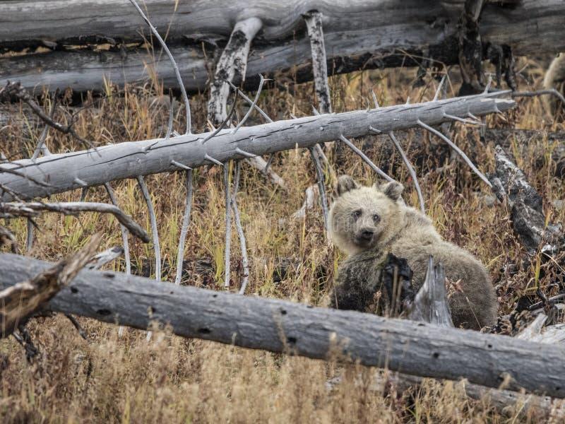 Urso pardos imagem de stock