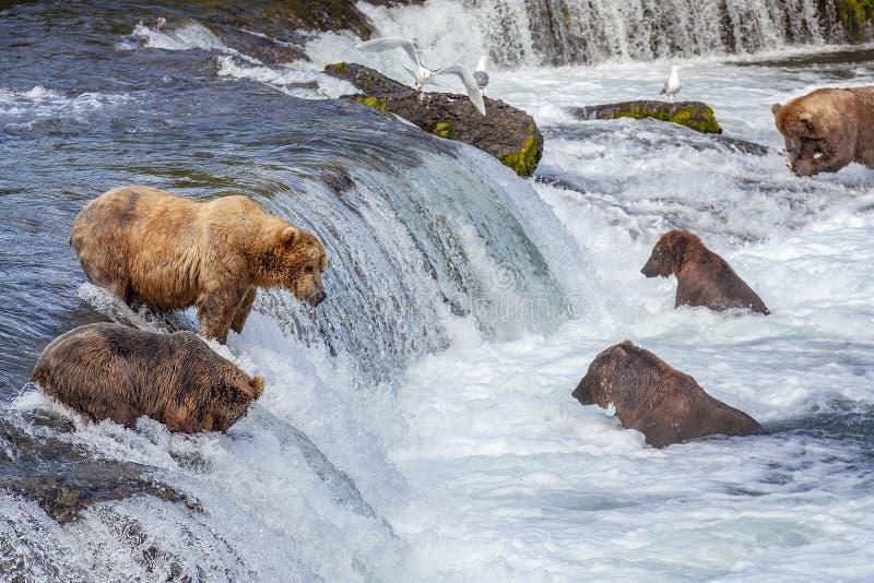 Urso pardos de Katmai NP fotos de stock royalty free