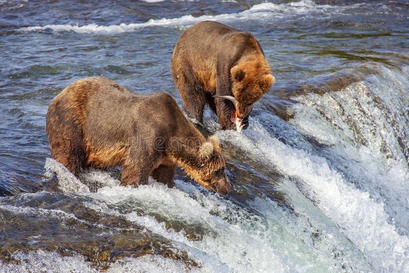 Urso pardos de Katmai NP foto de stock