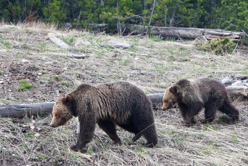 Urso pardos no parque nacional de Yellowstone, Wyoming fotos de stock royalty free