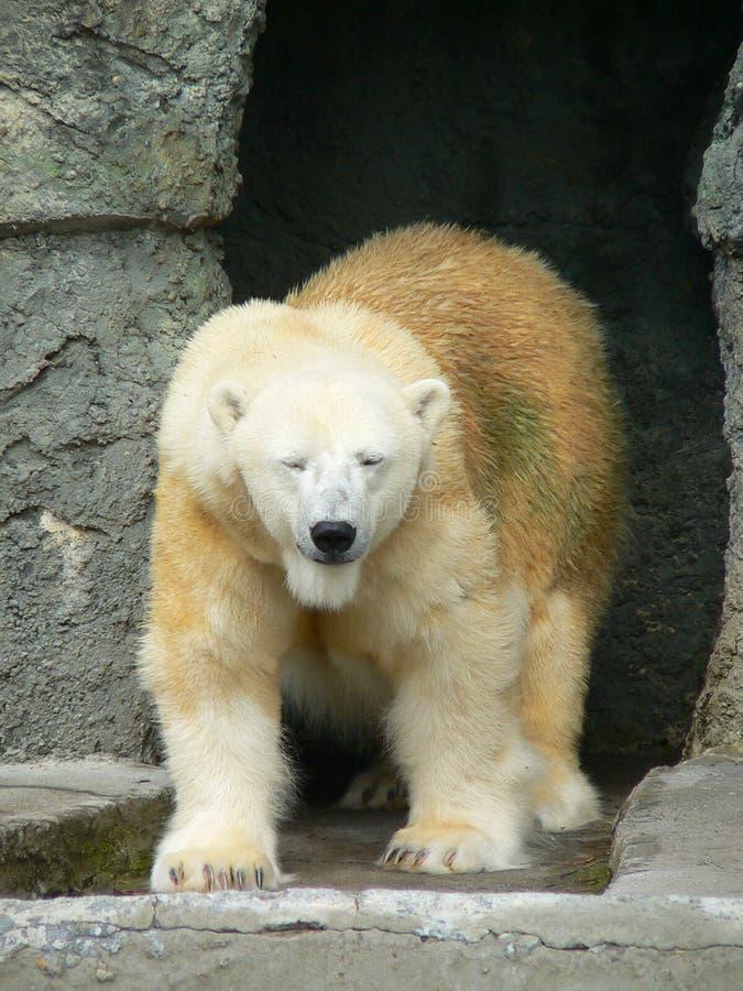 Urso polar 1 fotografia de stock