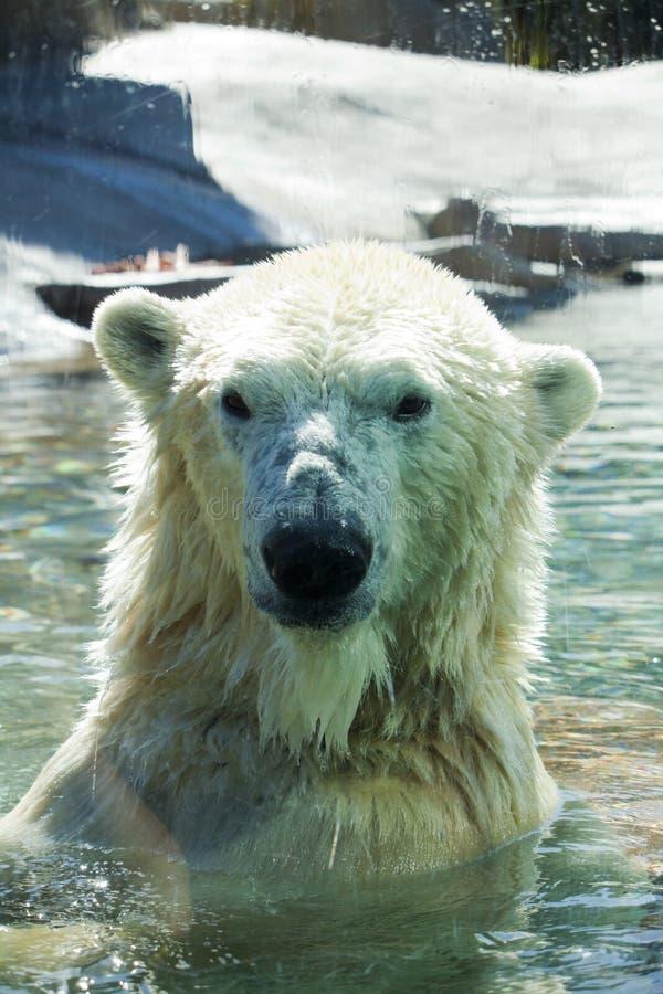 Urso polar foto de stock
