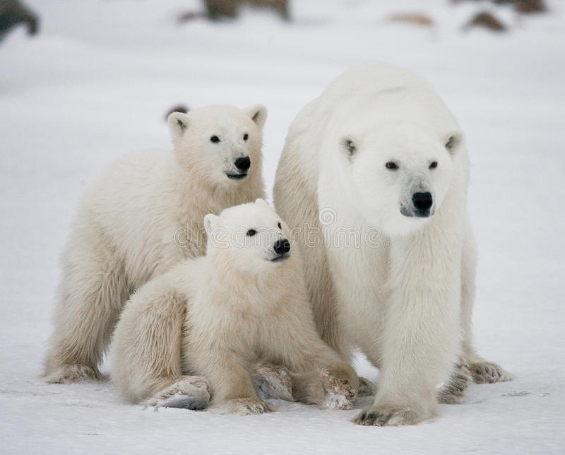 Urso polar com filhotes na tundra canadá fotografia de stock royalty free