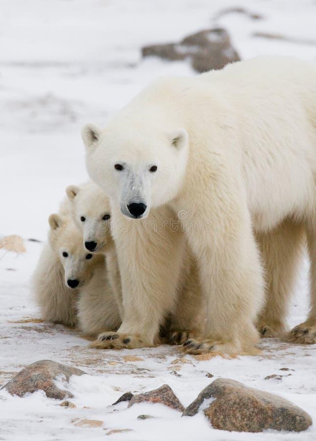 Urso polar com filhotes na tundra canadá fotos de stock royalty free