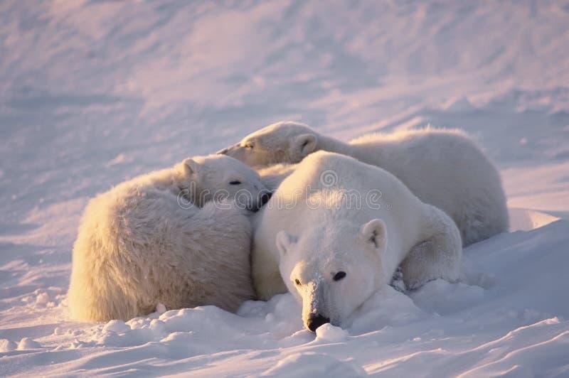 Urso polar com seus filhotes imagem de stock royalty free