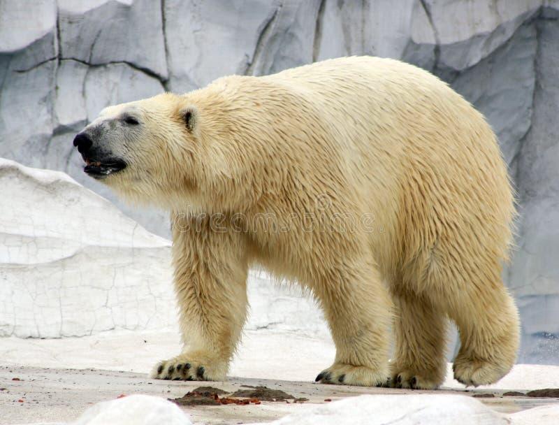 Urso polar curioso fotografia de stock