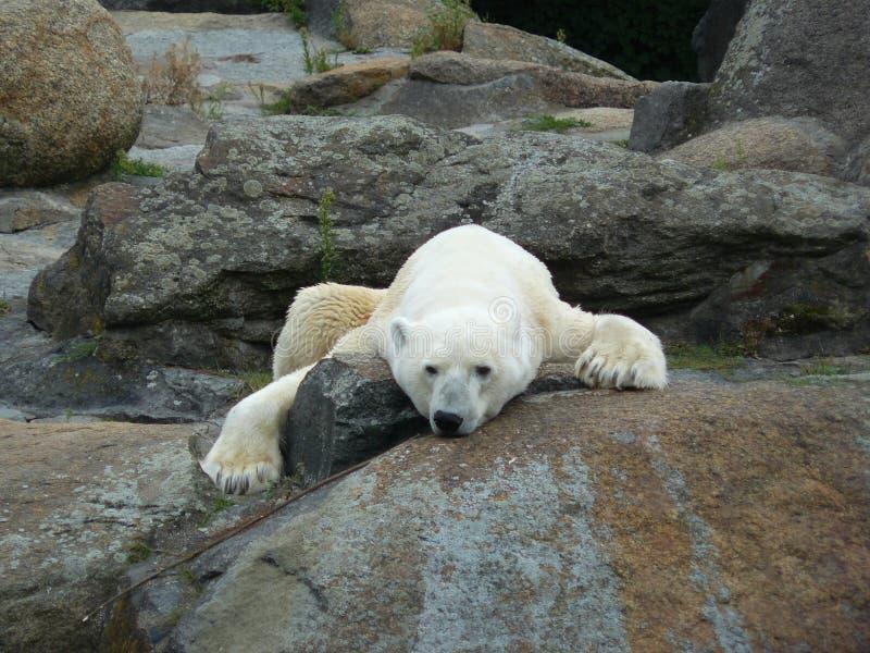 Urso polar de descanso imagem de stock royalty free