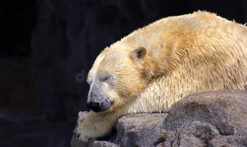 Urso polar do sono fotografia de stock