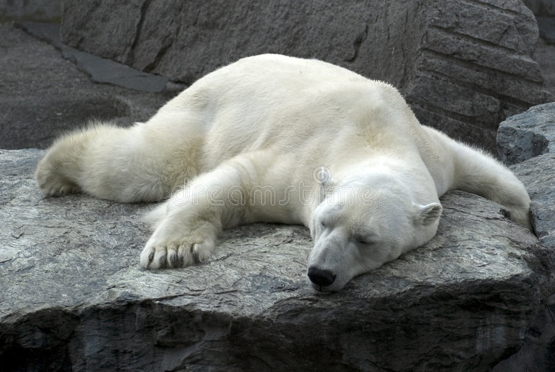 Urso polar do sono preguiçoso imagens de stock