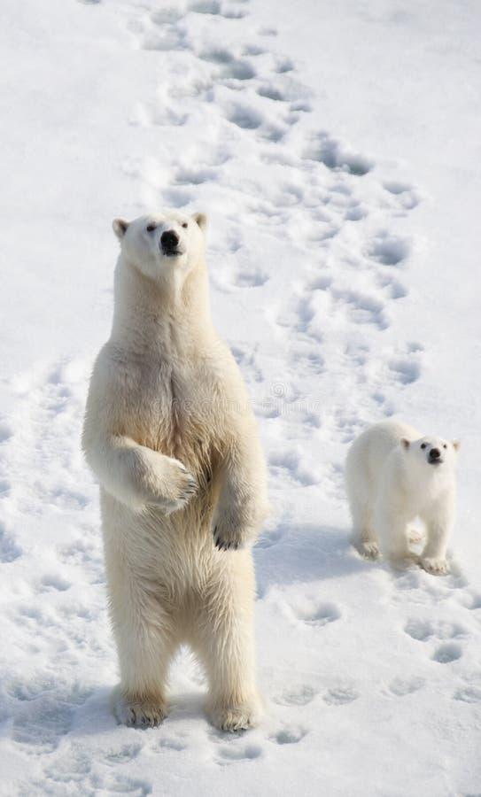 Urso polar e Cub fotos de stock royalty free