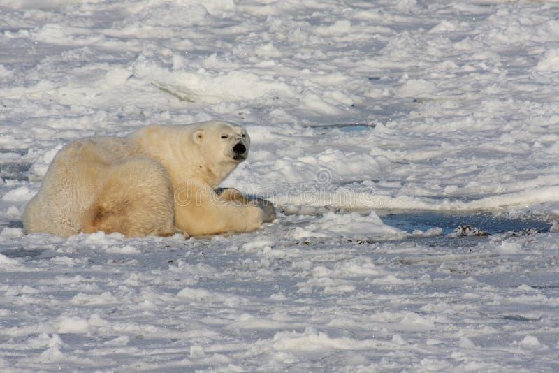 Urso polar e um furo do sopro do selo foto de stock