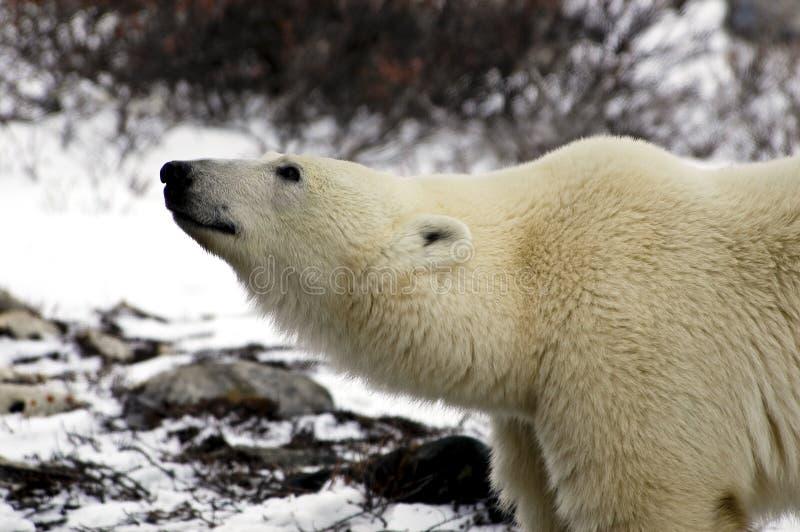 Urso polar em Canadá imagem de stock