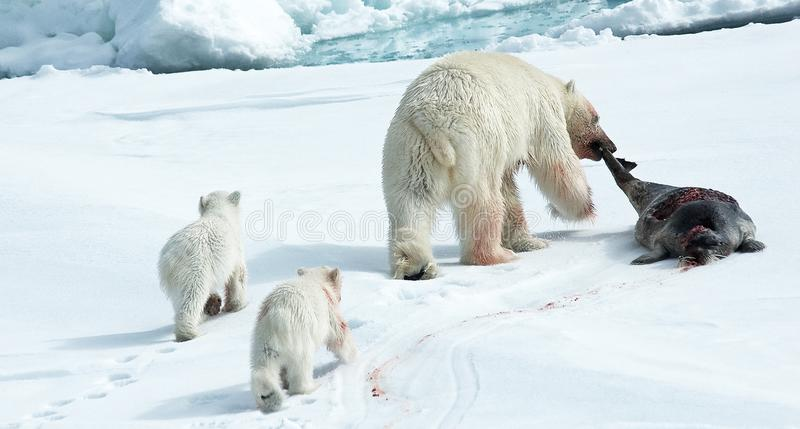 Urso polar, IJsbeer, maritimus do Ursus fotografia de stock royalty free